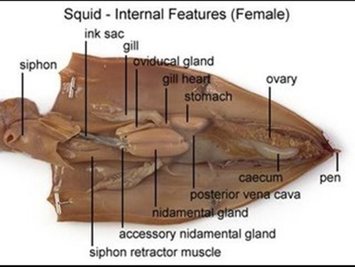 Ch 27 Clam Squid Lab Mrs N Nelsons Science Website